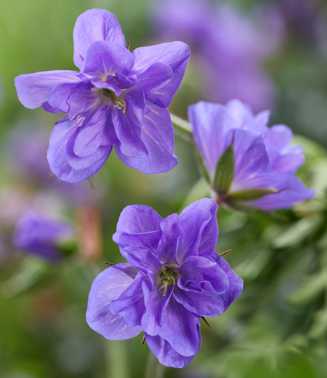 Geranium Hardy Collection