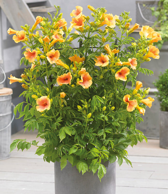 Campsis<br>'Yellow Trumpet'