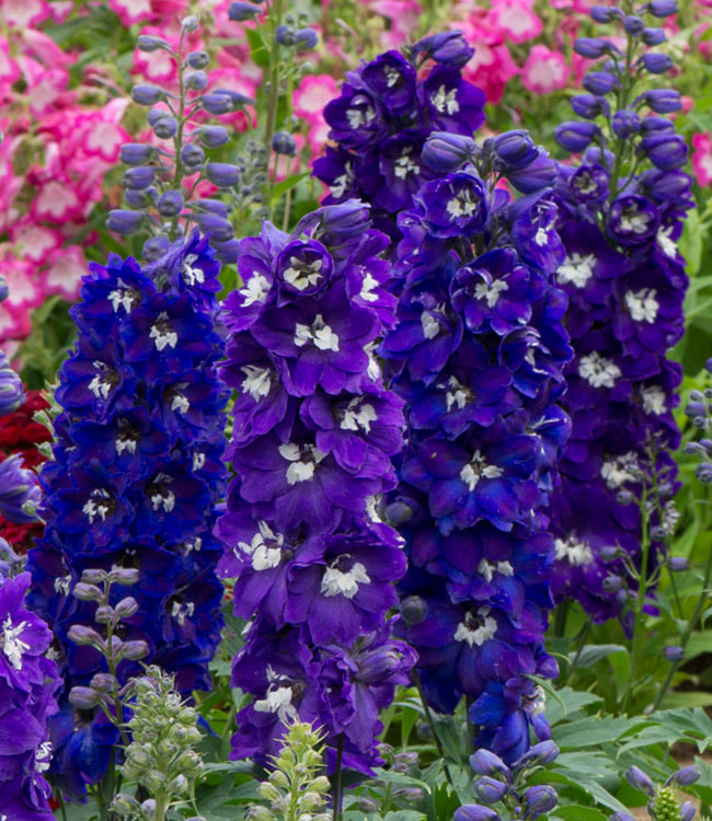 Delphinium<br>'Dark Blue & White Bee'