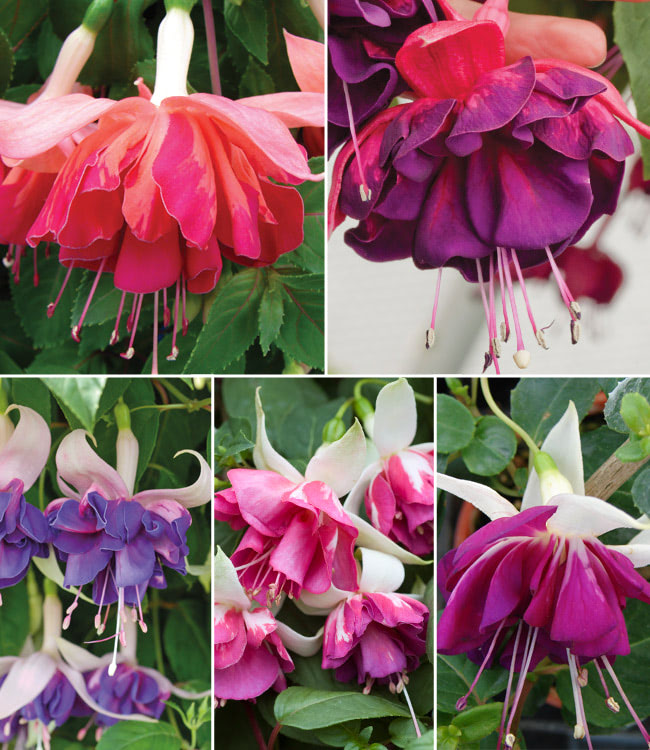 Fuchsia 'Giant Marbled' Collection
