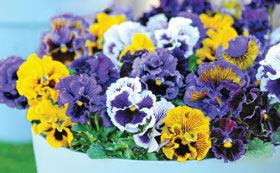 Winter Flowering Annuals