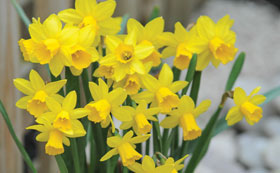 Daffodil Bulbs | Narcissus Bulbs