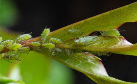 Aphid / Greenfly