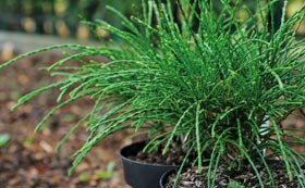 Conifer Plants