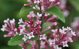 Scented Shrubs