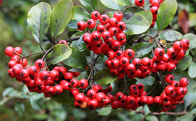 Shrubs with Winter Berries