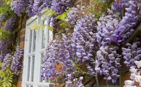 Wisteria Shrubs