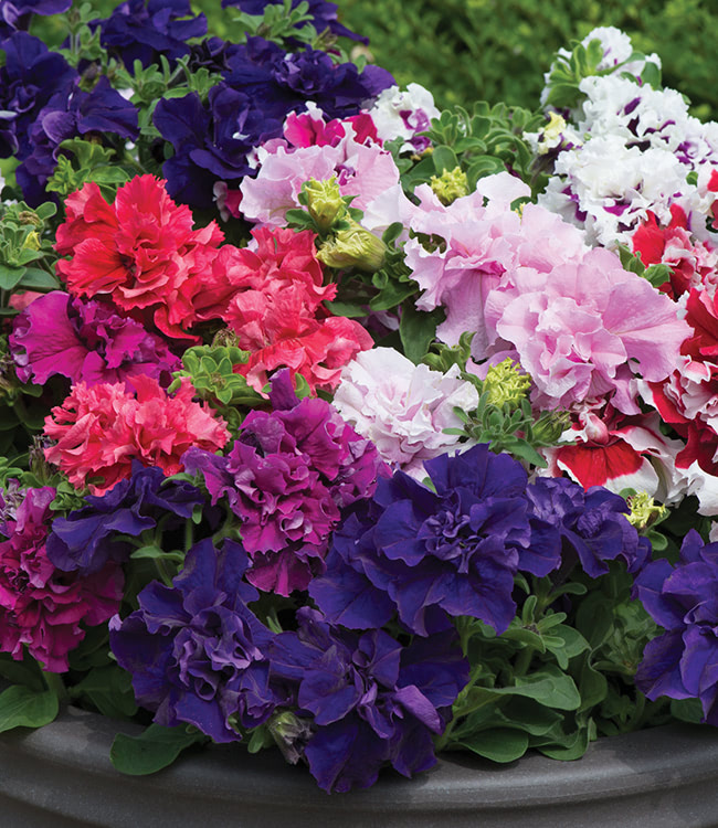 Petunia 'Orchid-Flowered Mixed'