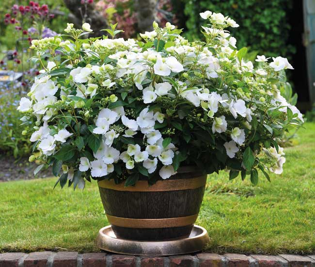 Potted Hardy Plants