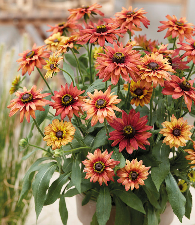 Rudbeckia<br>'Enchanted Collection'
