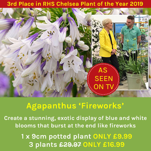 Agapanthus 'Fireworks' - As Seen on TV!