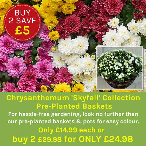 Chrysanthemum 'Skyfall' Collection Pre-Planted Baskets