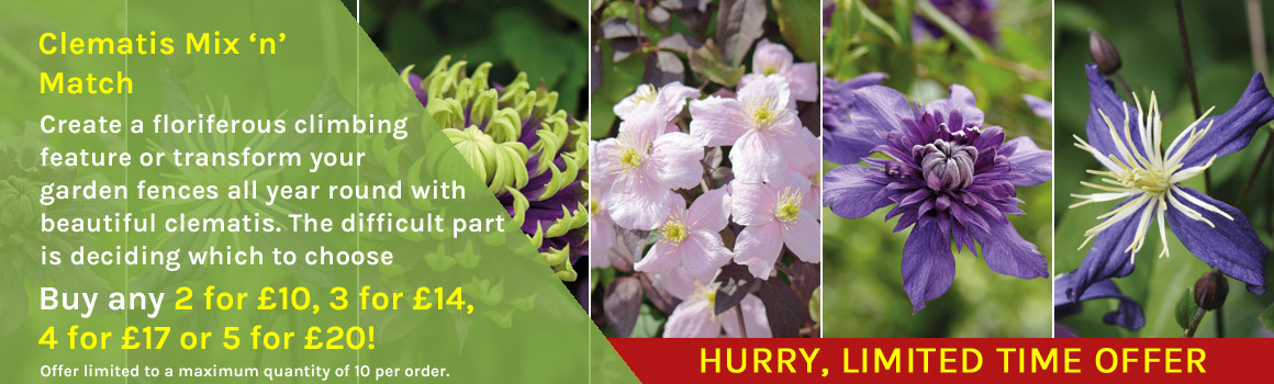 Mix and match clematis plants
