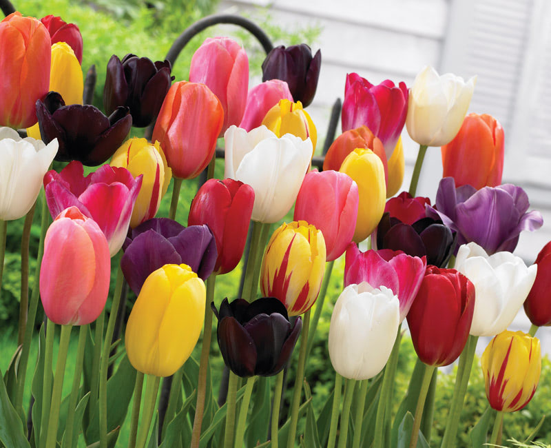 Tulip 'Everlasting Mixed'