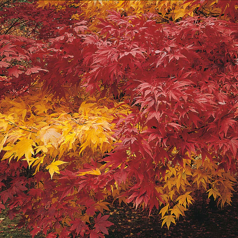 Image of Acer 'Autumn Coloured Hybrids Mixed'