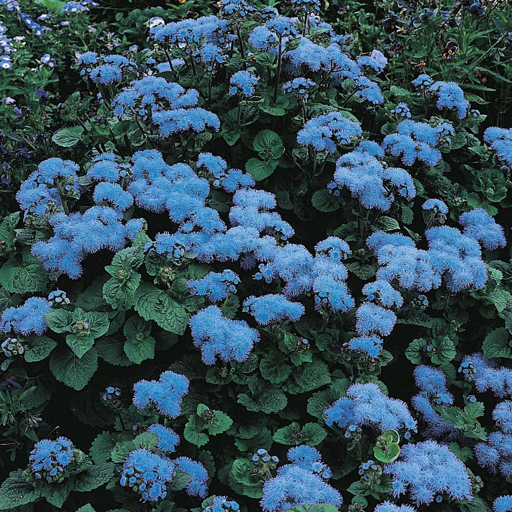 Image of Ageratum houstonianum 'Blue Mink'