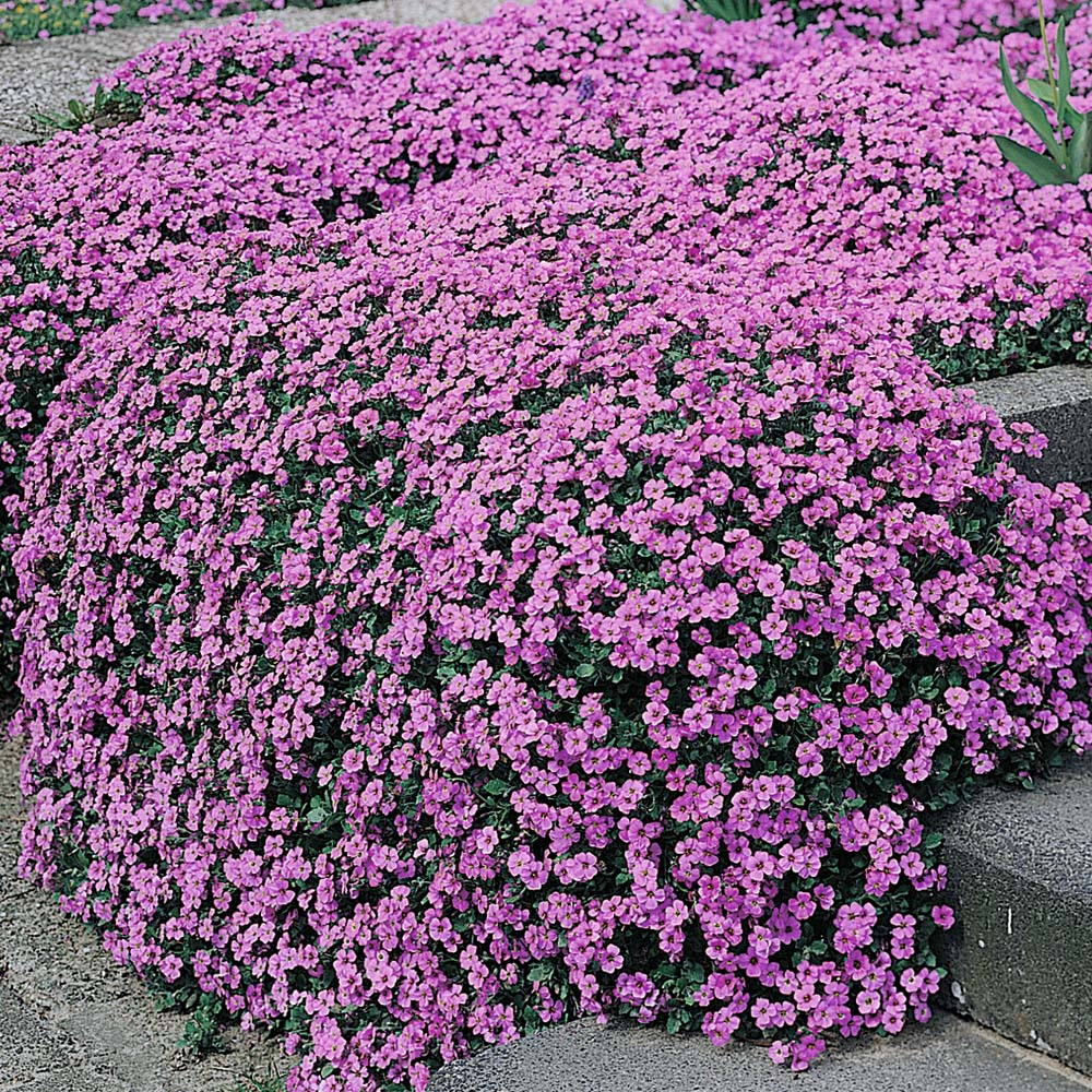 Aubretia at thompson morgan mightylinksfo