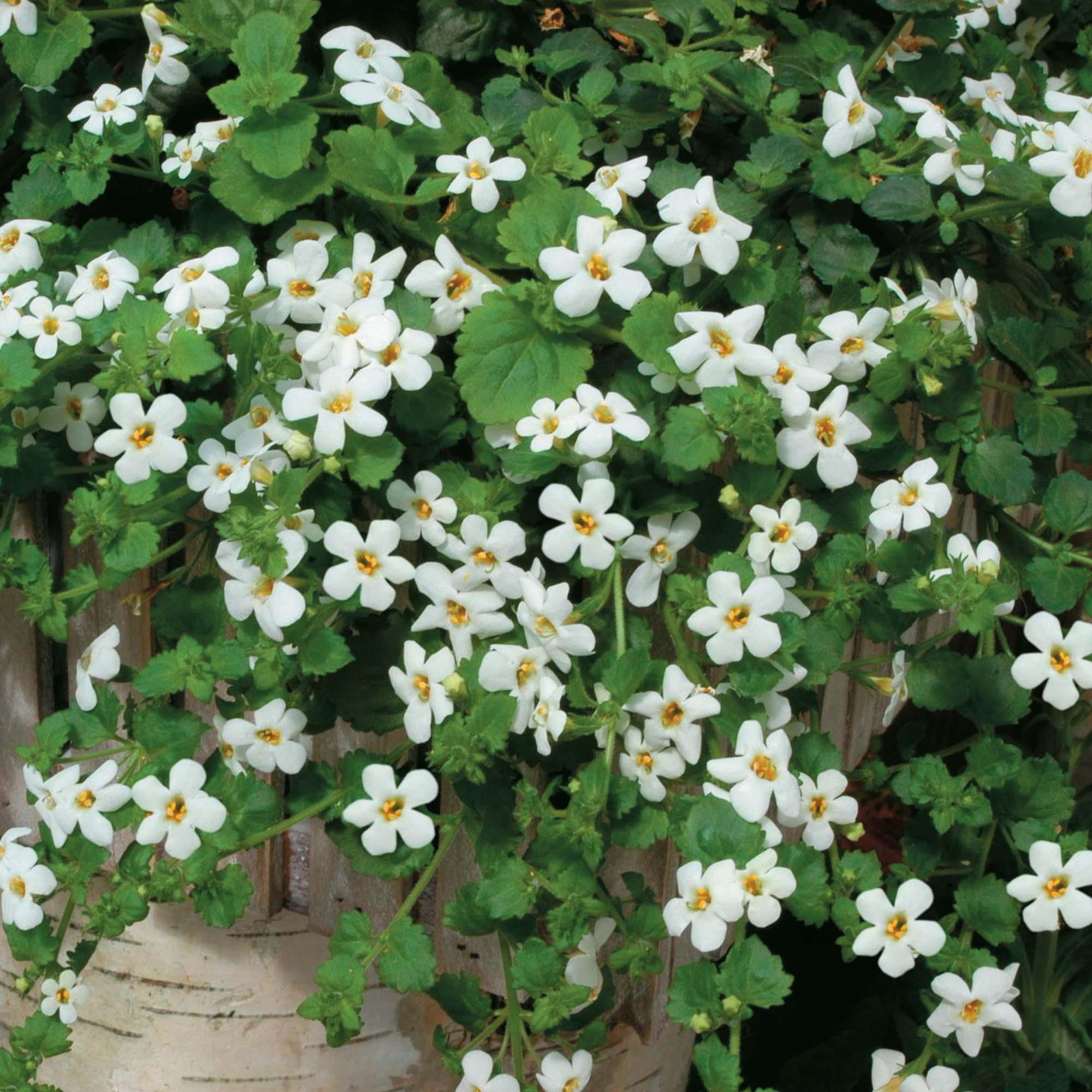 White Trailing Plants At Thompson Morgan