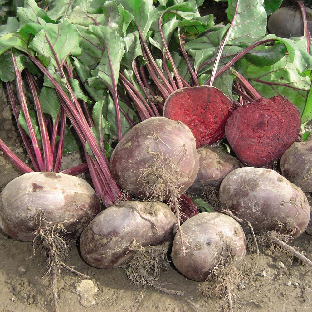 Image of Beetroot 'Kahira' (Egyptian Flat Rooted) - Heritage