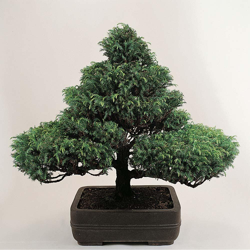 Image of Bonsai Trees (Mixed)
