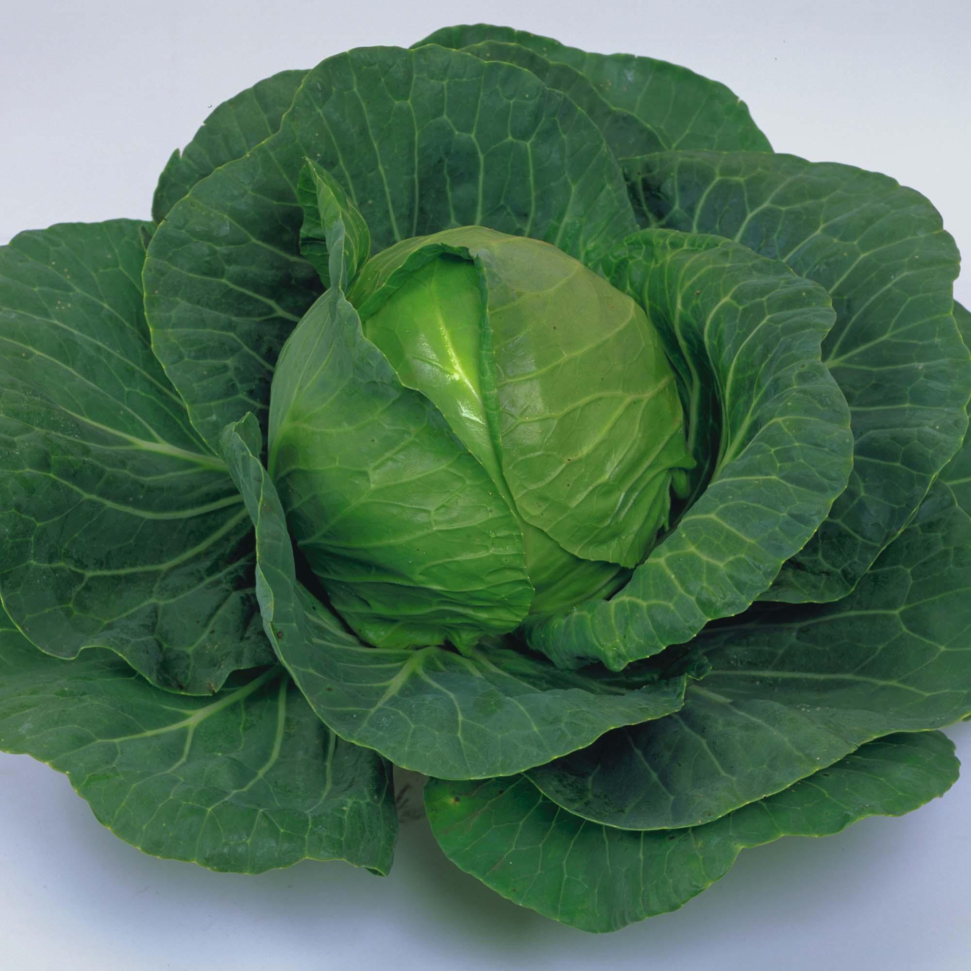 Image of Cabbage 'Elisa' F1 Hybrid (Summer)