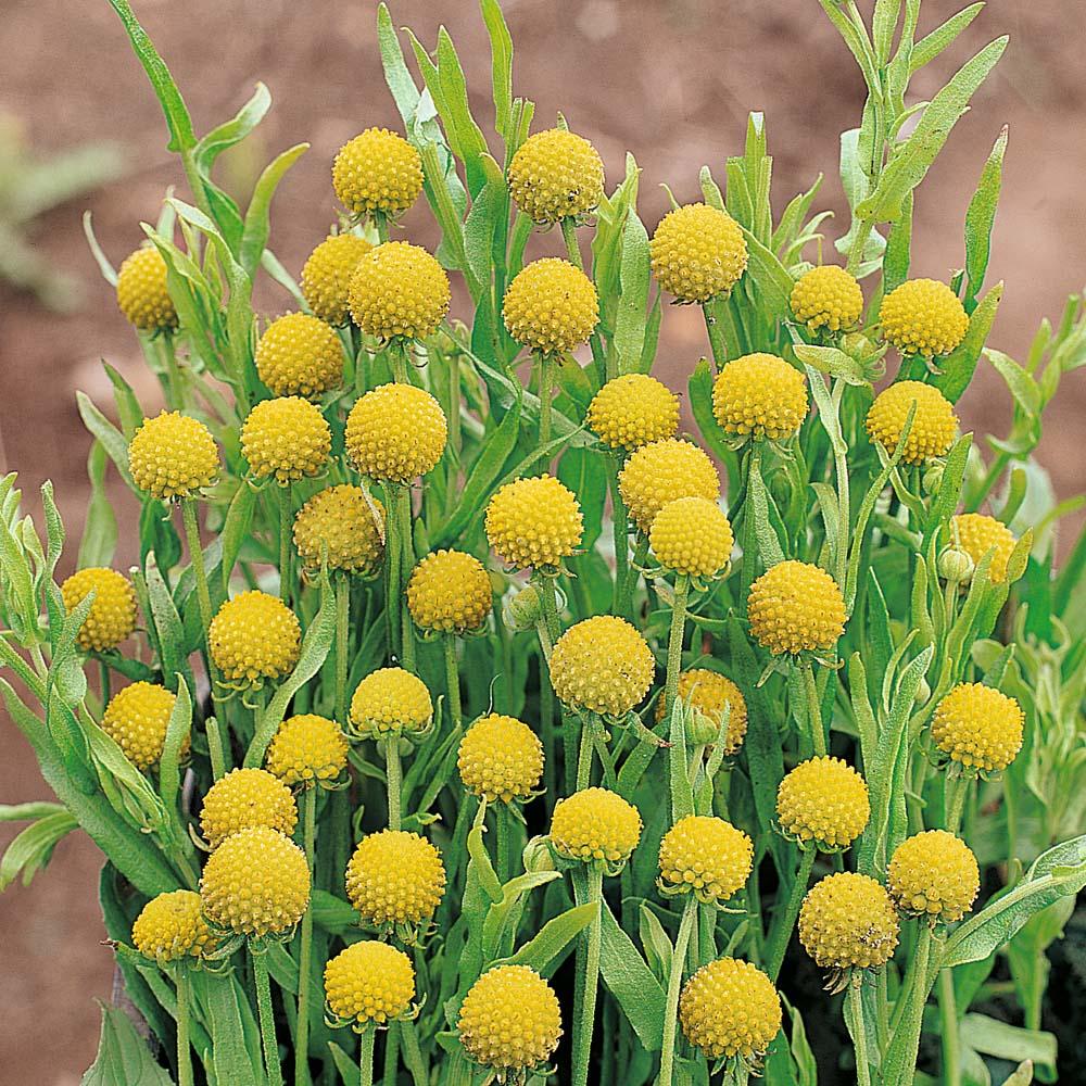 Yellow perennials at thompson morgan mightylinksfo