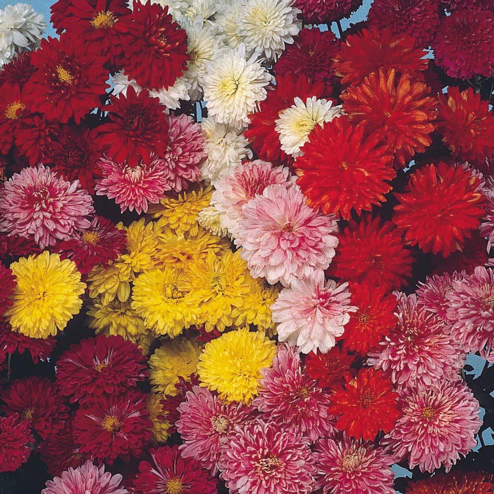 Perennial potted plants Chrysanthemum Hanenberg