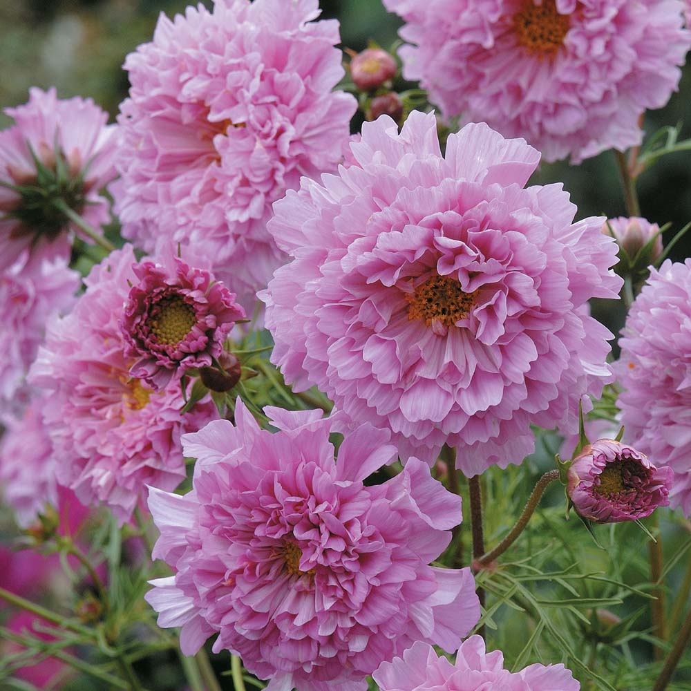 Image of Cosmos bipinnatus 'Double Click Rose Bonbon'