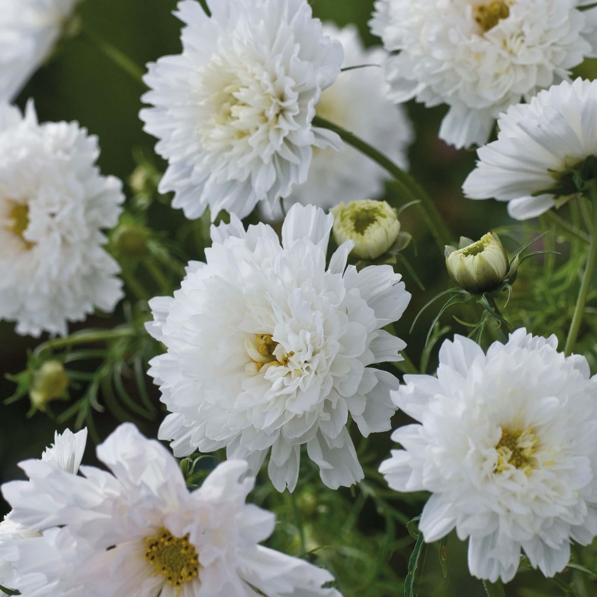 Pompom flowers at thompson morgan mightylinksfo