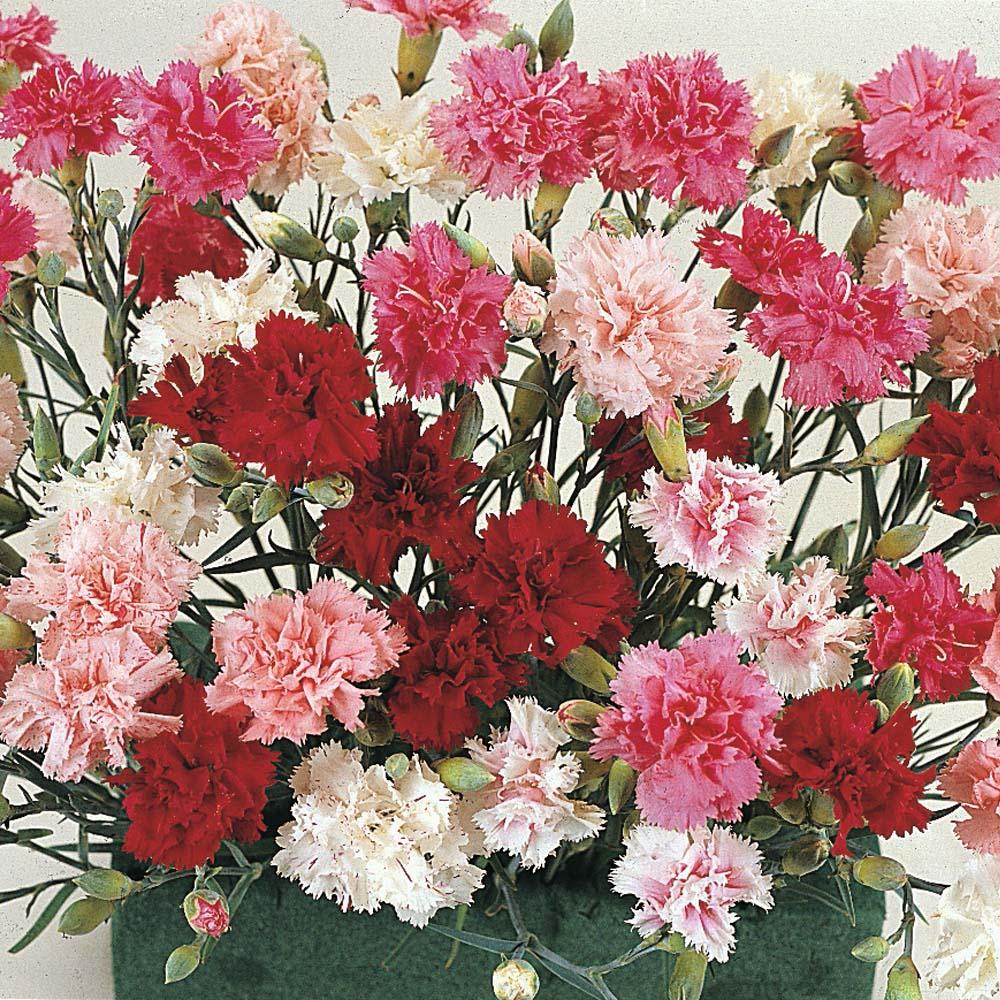 Dianthus memories pink memories in gardentags plant encyclopedia mightylinksfo