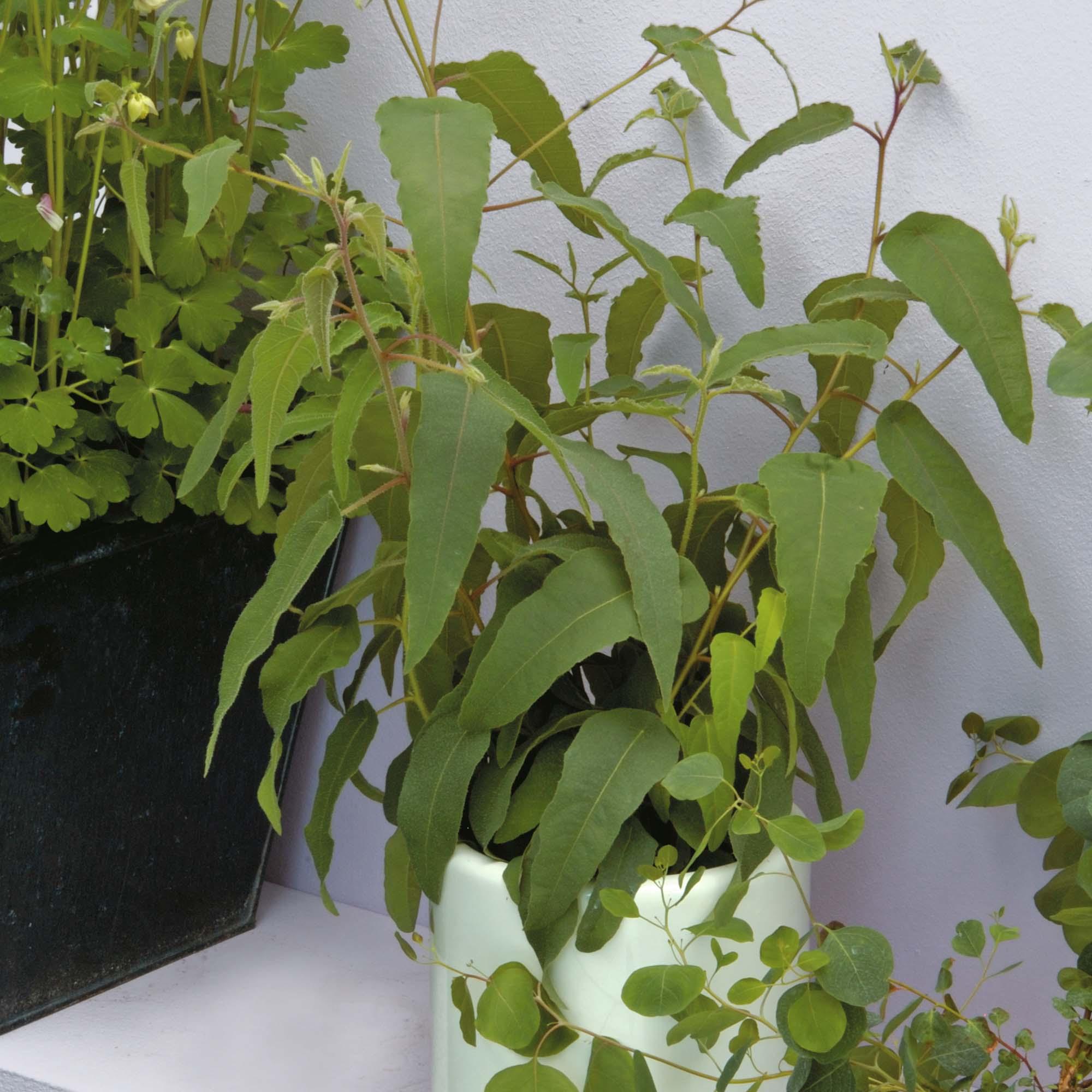 Image of Eucalyptus citriodora 'Lemon Bush'