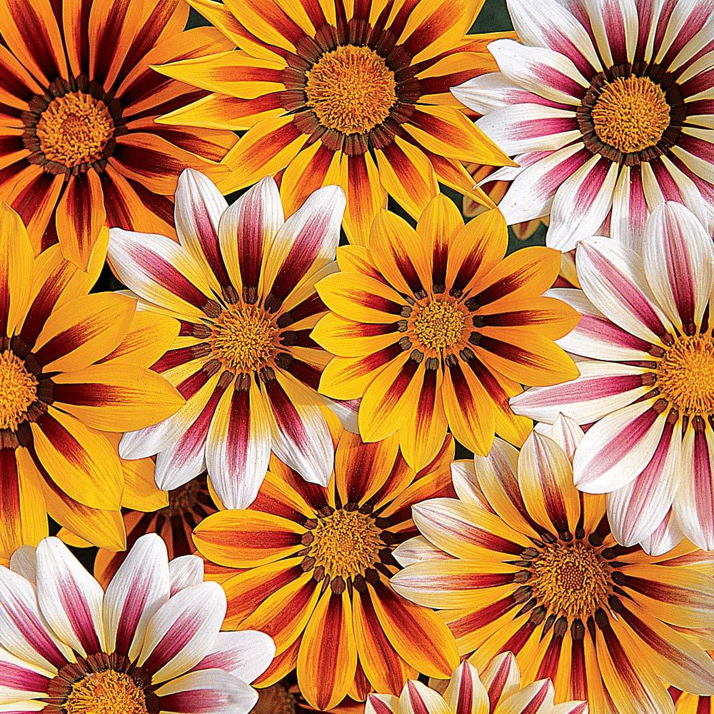 Gazania apache treasure flower apache in gardentags plant gazania apache treasure flower apache in gardentags plant encyclopedia izmirmasajfo