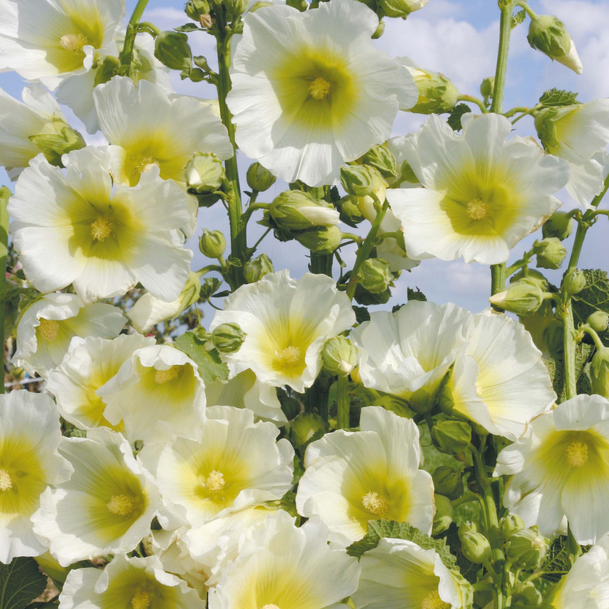 Awe Inspiring Hollyhock Halo White Download Free Architecture Designs Ponolprimenicaraguapropertycom