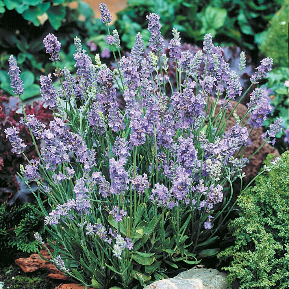 Image of Lavender 'Ellagance Sky'