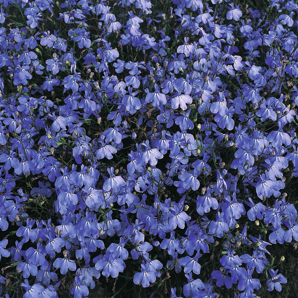 Lobelia At Thompson Morgan