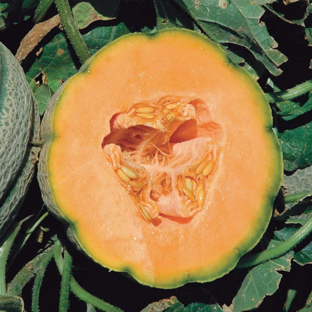 Image of Melon 'Orange Sherbert' F1 Hybrid