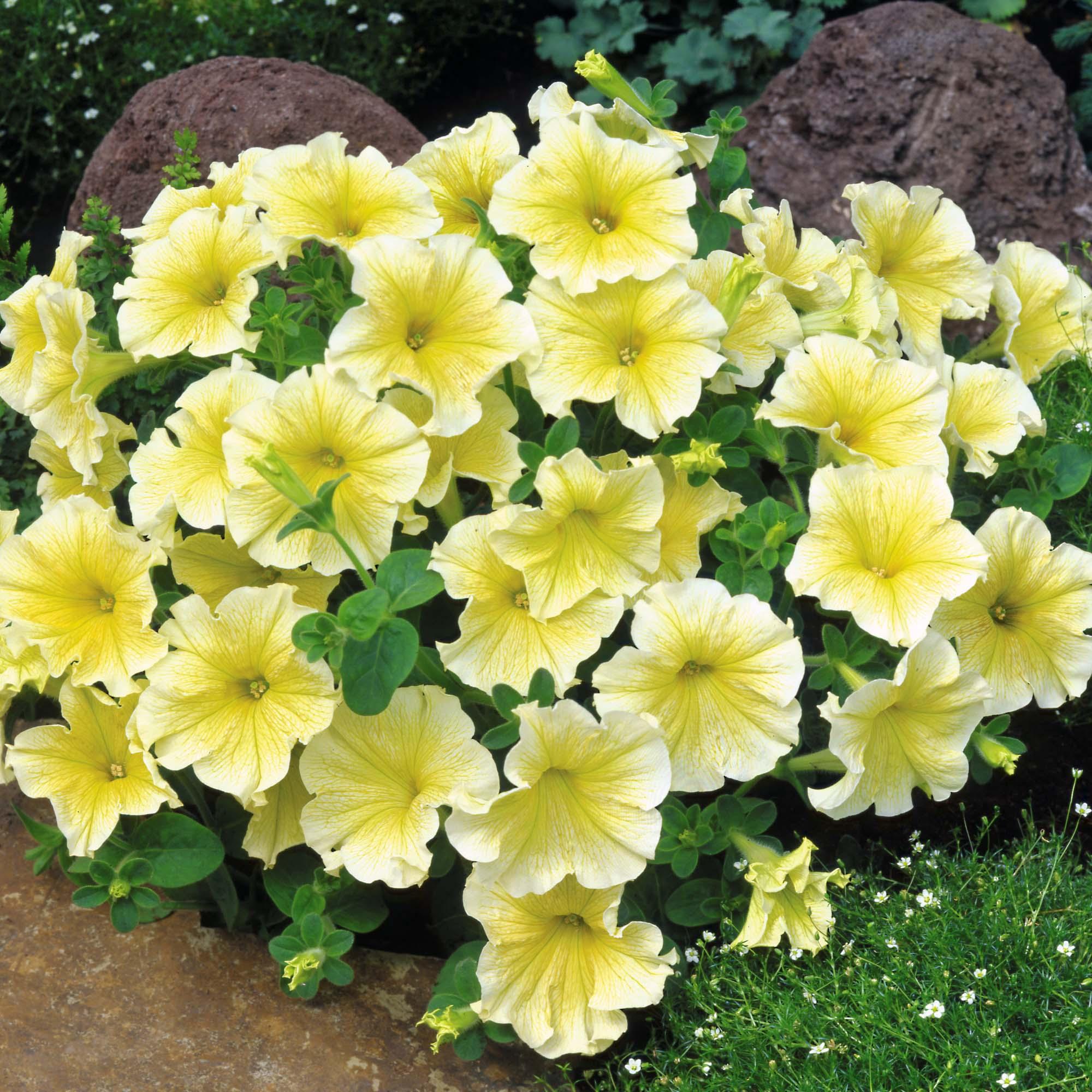 Petunia Seeds at Thompson-Morgan
