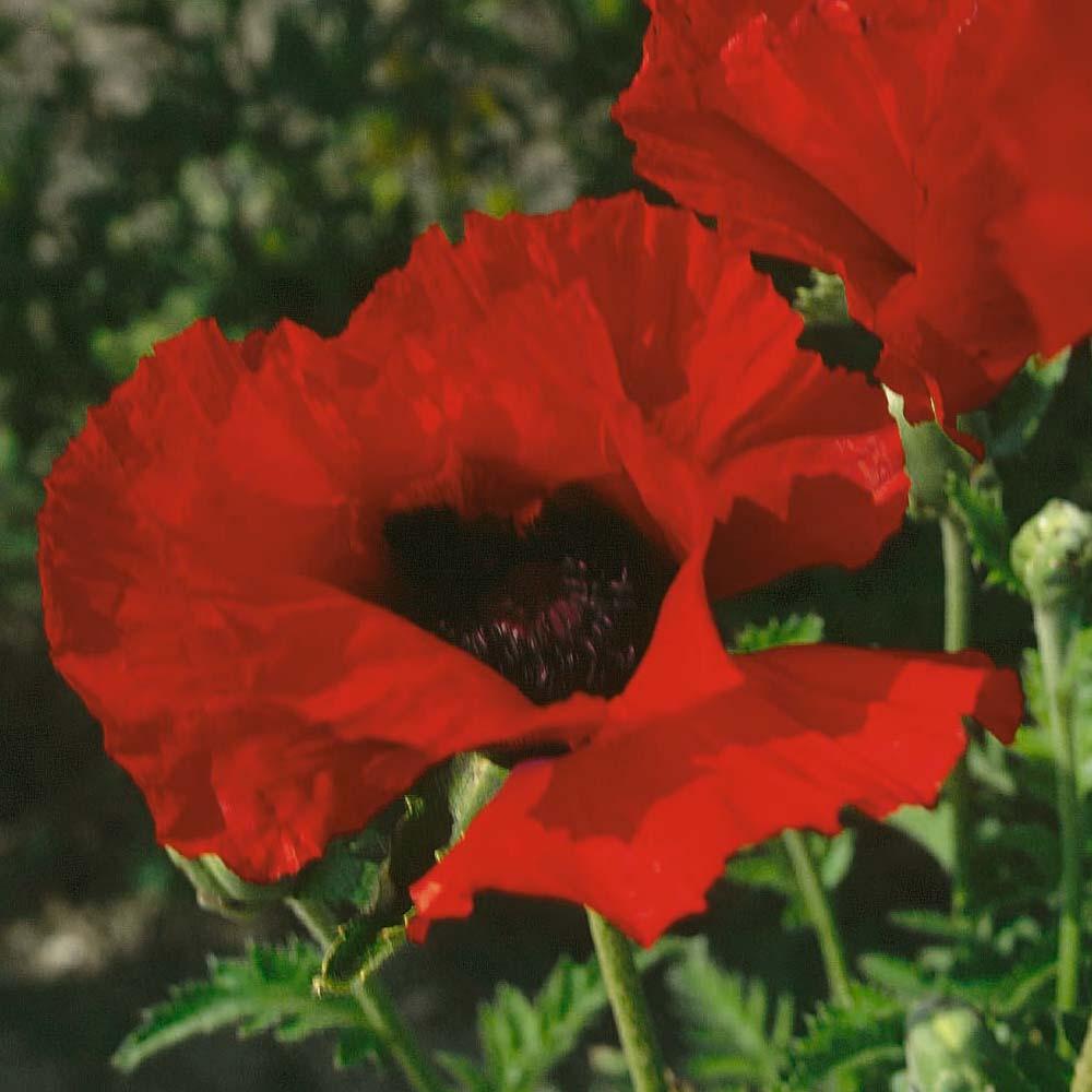 Poppy Brilliant