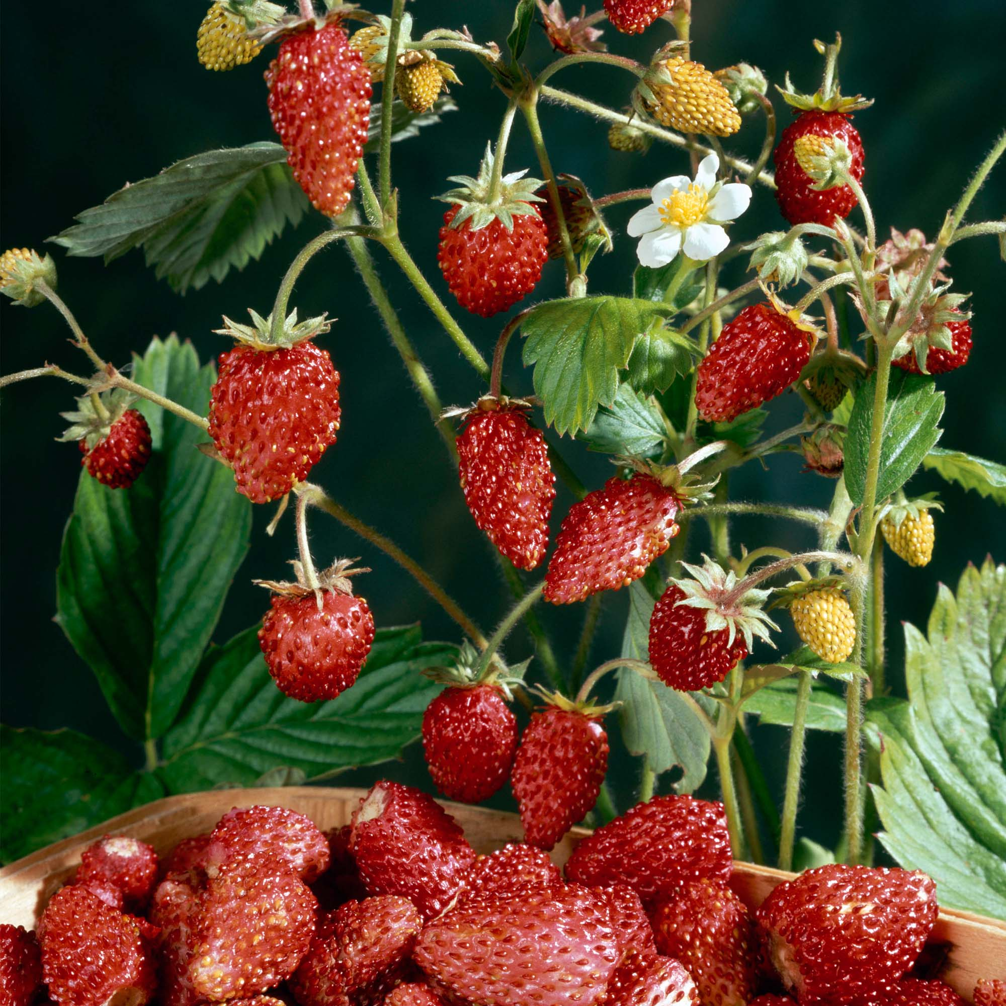 Strawberry Alba: variety description, cultivation and care 89