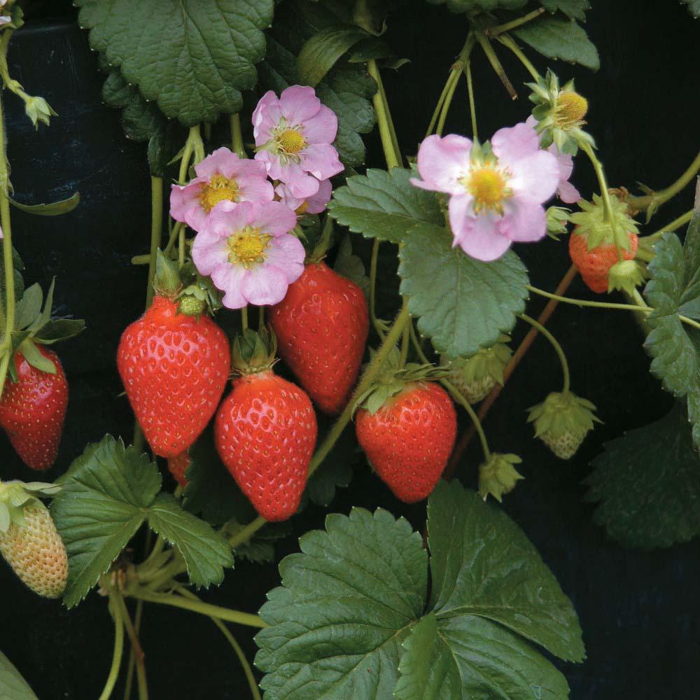 Image of Strawberry 'Florian' F1 Hybrid (Everbearer/ All season)