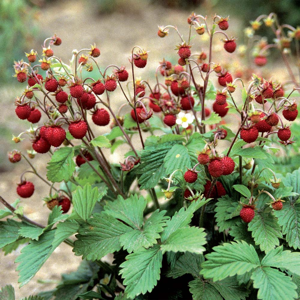 Strawberry Alba: variety description, cultivation and care 4