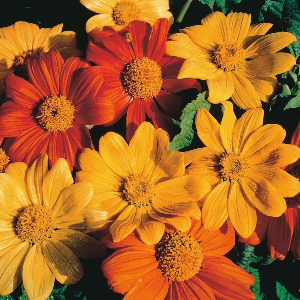 Orange Flowers At Thompson Morgan