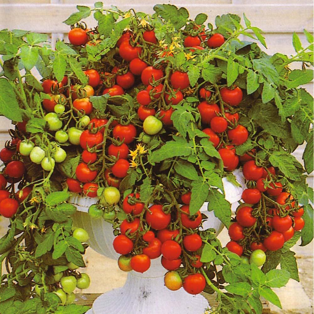 Как вырастить помидоры черри на подоконнике в домашних услов.