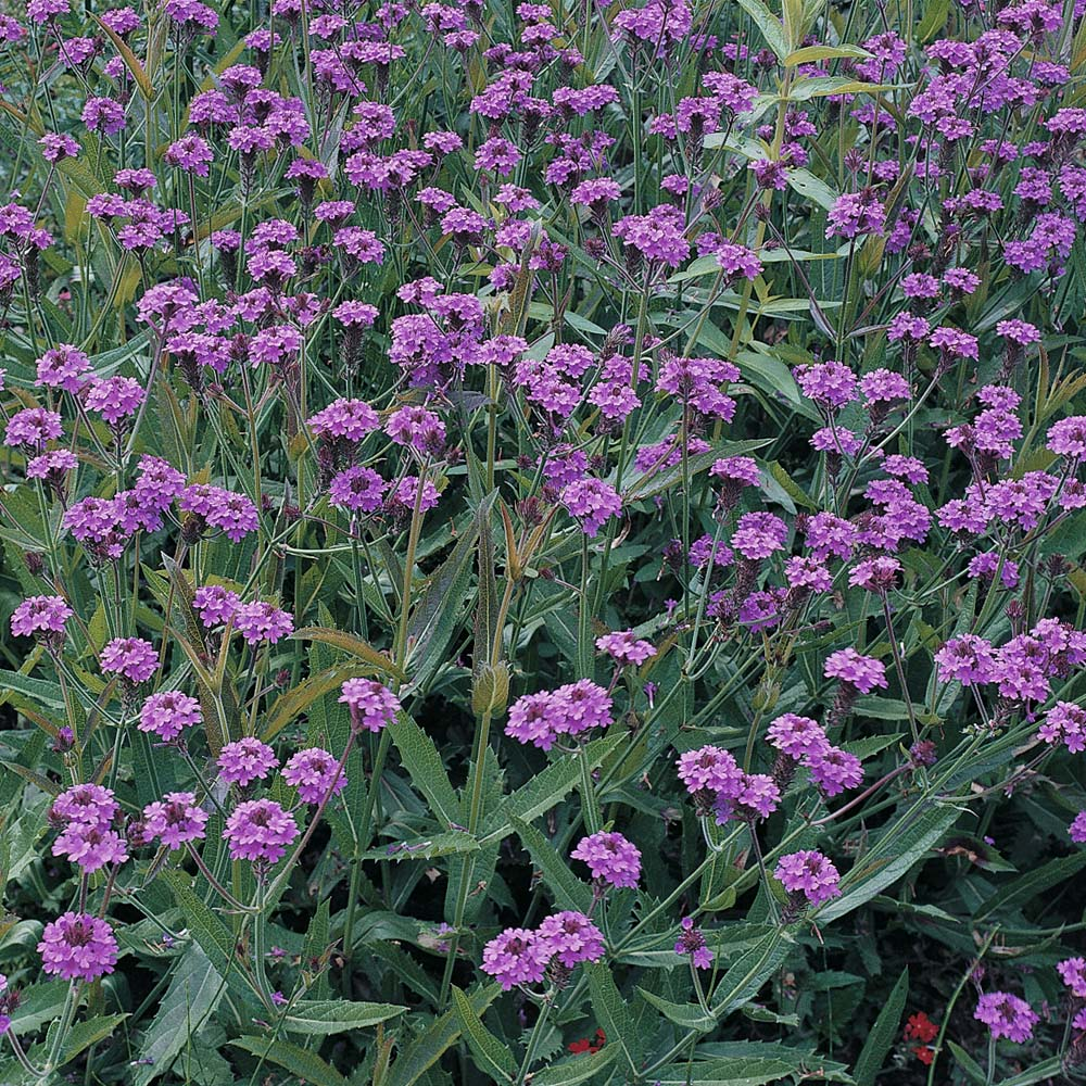 Purple Perennial Flowers At Thompson Morgan