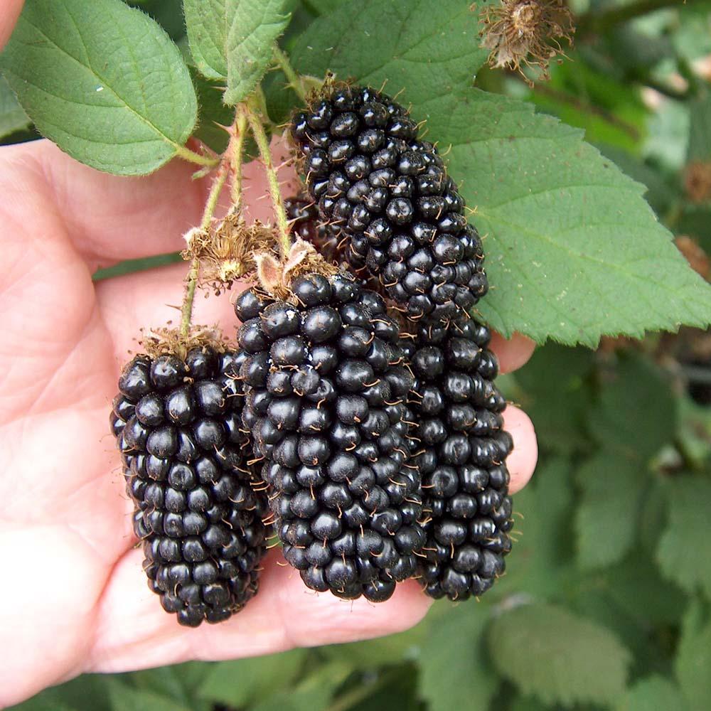 Image of Blackberry 'Karaka Black'