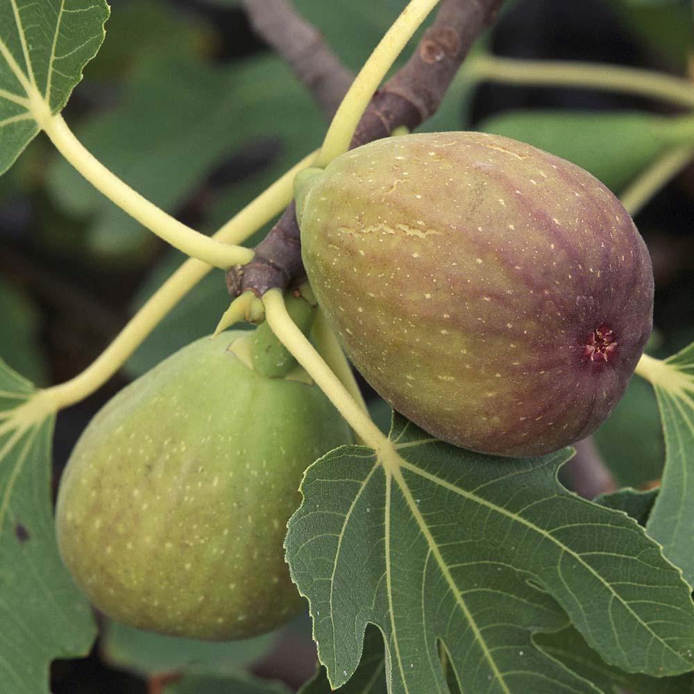 Image of Fig 'Brunswick'