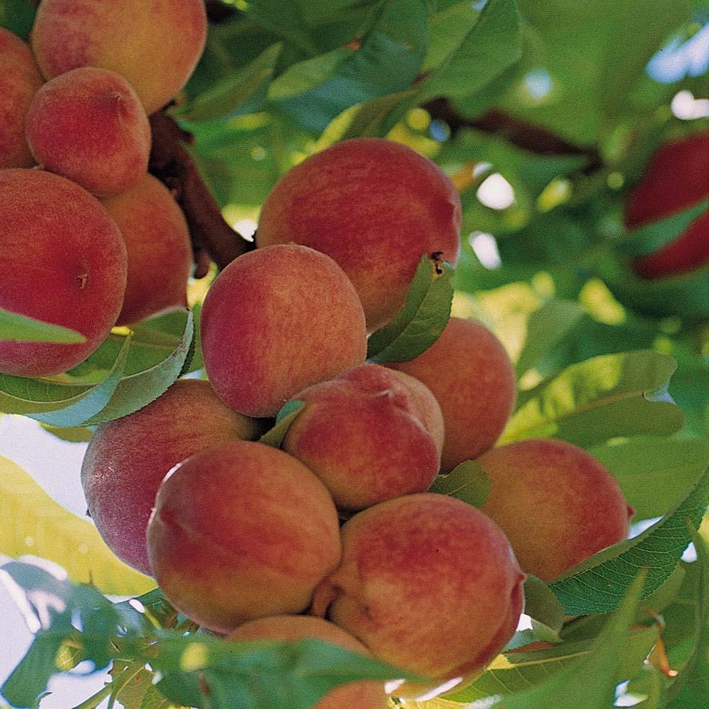 Prunus persica 'Crimson Bonfire', Red-Leaf Peach Tree ...