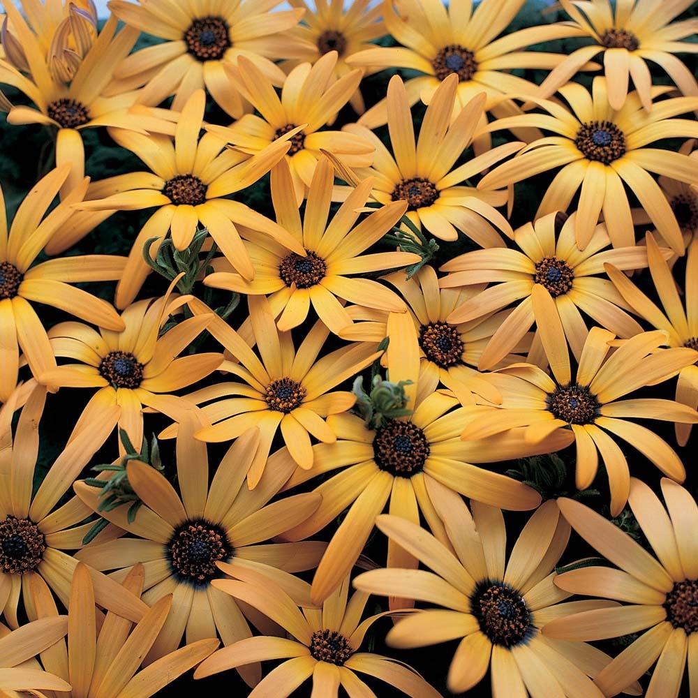 daisy like flowers at thompson morgan
