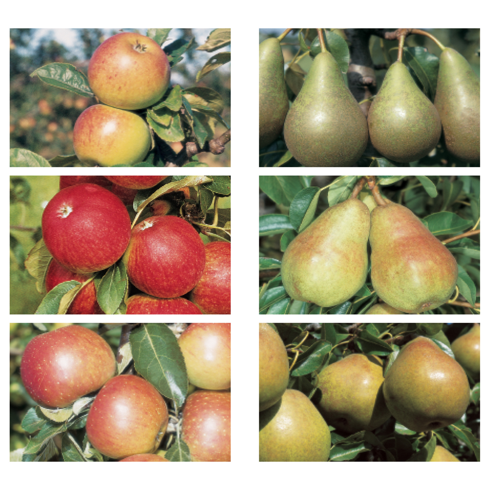 Image of Apple and Pear Family Collection
