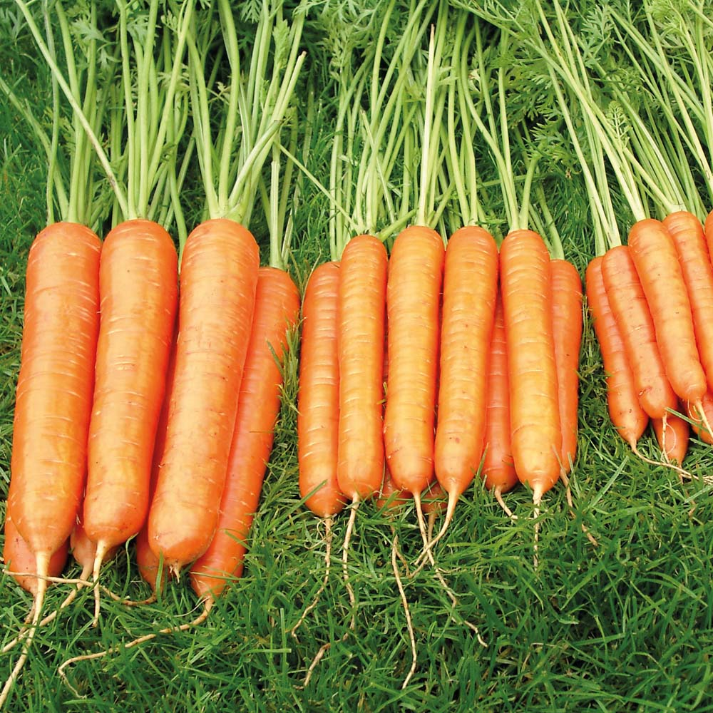 Image of Carrot 'Sweet Candle' F1 Hybrid